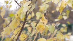 Yellow birch leaves develop in the wind, autumn, nature stock video
