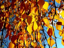 Yellow birch leaves during fall season against sunny blue sky Stock Image