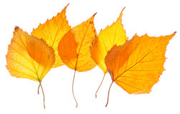 Yellow birch leaves isolated Royalty Free Stock Images