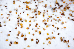 Yellow birch leaves in the snow Royalty Free Stock Image