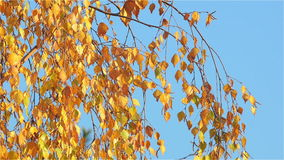 Yellow Birch Leaves Swaying in the Afternoon November Sun. In the Background is the Clear Blue Sky stock video