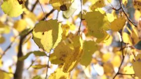 Yellow birch leaves tremble under breeze close. Yellow birch leaves tremble under breeze in sunny day in autumn season stock video