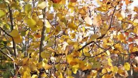 Yellow birch leaves tremble in wind stock footage