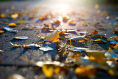 Yellow birch levaes Stock Photography