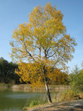 Yellow birch. Near the pond in autumn Royalty Free Stock Images
