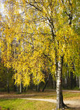 Yellow birch tree Royalty Free Stock Image