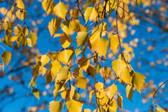 Yellow birch tree leaves and blue sky Stock Image