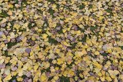 Yellow Birch tree leaves on green grass autumn Royalty Free Stock Photo