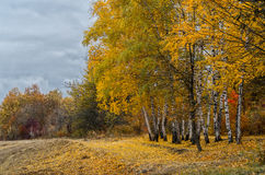 Yellow birch trees in beautiful autumn landscape. Yellow birch trees in autumn forest. Beautiful autumn landscape, fall scene Stock Photo