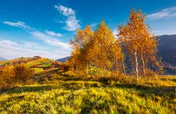 Yellow birch trees in mountains at sunrise. Beautiful countryside scenery in autumn with rural fields on hill in the distance under the lovely blue sky with Royalty Free Stock Image
