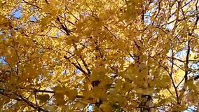 Yellow birch in the wind. Yellow birch branches swell in the wind stock video