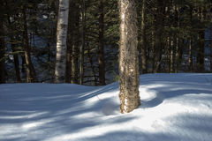 Yellow Birch in Winter Woods. Yellow birch tree in winter snow field Stock Photo