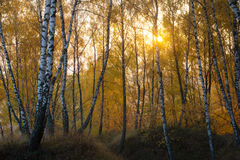 Yellow birch woods Stock Images