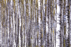 Yellow birches royalty free stock images