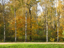 Yellow birches, autumn. Autumn landscape - yellow birch trees near the  road Stock Image