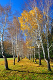 Yellow birches and blue sky Royalty Free Stock Photos
