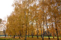 Yellow birches in park. Create feeling of happiness Royalty Free Stock Image