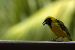 Yellow bird. Eating in Mauritius Stock Photography