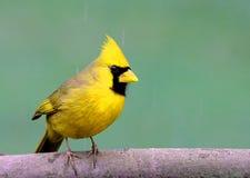 Yellow bird Royalty Free Stock Images