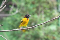 Yellow bird. With black head sitting on a branch Stock Images