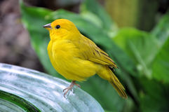Yellow Bird Stock Image