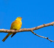Yellow bird. Perched on the branch Stock Photo