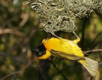 Yellow bird Royalty Free Stock Photos