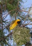 Yellow bird Royalty Free Stock Photography