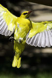 Yellow bird. Flying with spread wings royalty free stock photos