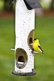 Yellow Bird Stock Photos