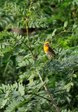 Yellow bird 'baya' Royalty Free Stock Photography