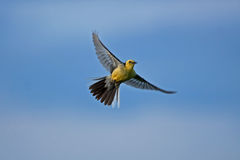 Yellow bird on the blue sky Royalty Free Stock Photo