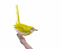 Yellow bird on branch. Royalty Free Stock Images