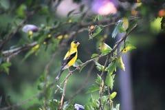 Yellow bird on branch Stock Photos