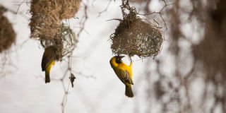 Bird building a nest Royalty Free Stock Photography