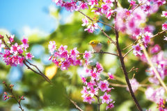 Yellow bird on the cherry blossom tree. Yellow bird on the pink cherry blossom branch Royalty Free Stock Images