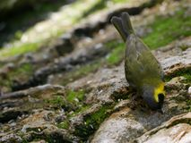 Yellow bird. Close up of a yellow bird on a tree trunk Royalty Free Stock Images
