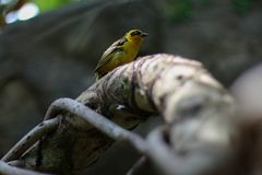 Yellow bird concentrated stock photography