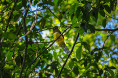 Yellow bird, Corcovado National Park, Costa Rica.  Royalty Free Stock Photo