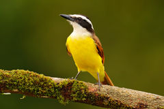 Yellow bird from Costa Rica. Great Kiskadee, Pitangus sulphuratus, brown and yellow tropic tanager with dark green forest in the b Royalty Free Stock Image