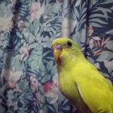 Yellow bird. Cute yellow birdy in the house Royalty Free Stock Photo