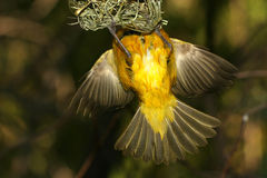 Yellow bird entering nest Stock Image
