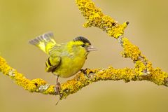 Yellow bird. Eurasian Siskin, Carduelis spinus, sitting on the branch with yellow lichen, clear background.  Wildlife scene in the. Nature. Beautiful yellow Royalty Free Stock Photography
