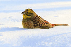 Yellow bird fell to the feet snow. Emberiza citrinella,survival, the birds winter, cold, frost, migration Stock Photo