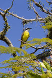 yellow bird flapping its wings Royalty Free Stock Photo