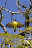 Yellow bird flapping its wings Royalty Free Stock Image