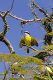 Yellow bird flapping its wings Royalty Free Stock Photography