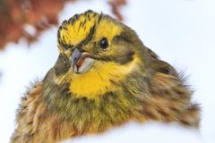 Yellow bird with a funny face in the snow Royalty Free Stock Photos