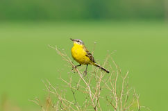 Yellow bird on the grass on the field in summer. Bird sitting on dried grass Stock Image