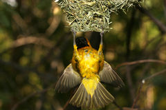 Yellow bird hanging high in air from nest Stock Photo